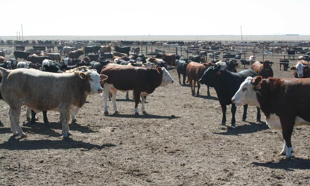 e-coli bovine suceava