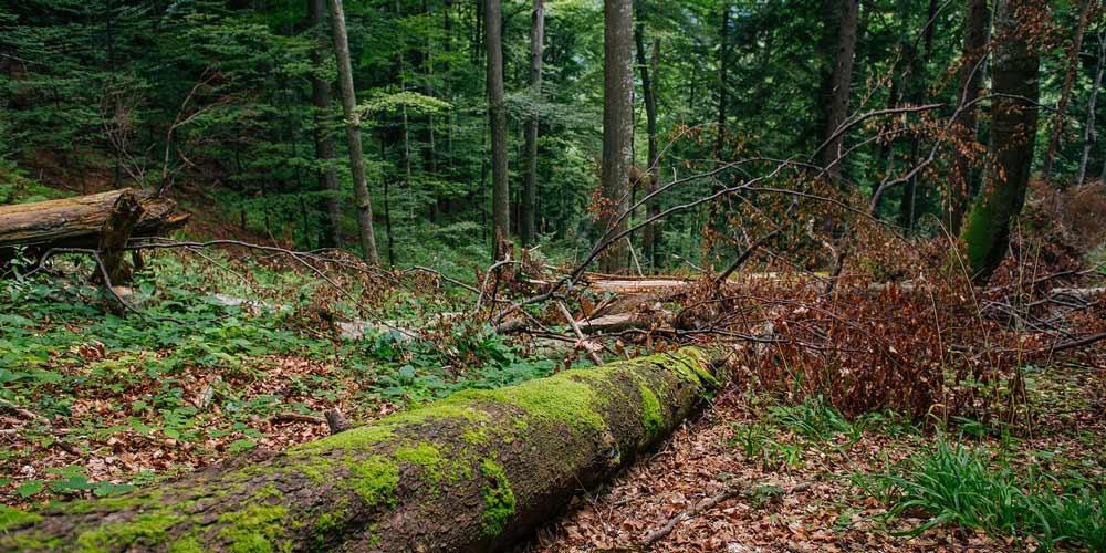 incredibil-au-injectat-copacii-cu-substante-pentru-se-usca
