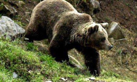 urs-suceava