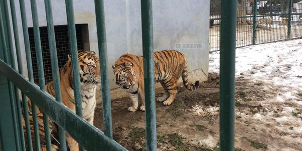 doi-tigri-siberieni-s-au-mutat-la-radauti